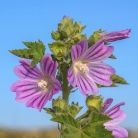 Malva sylvestris Seeds
