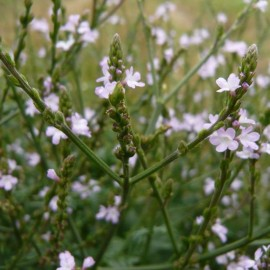 Verveine officinale (Verbena officinalis) Graines