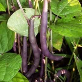 Haricot Nain Mangetout 'Purple Queen' Graines