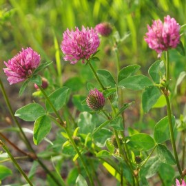 Purple Clover (Green Manure) Seeds