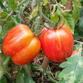 Tomato 'Striped Cavern' (Heirloom Variety) Seeds