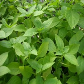 Basilic Citron (Ocimum citriodorum) Graines