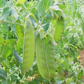 Pea 'Sweet Horizon' (Mangetout) Seeds