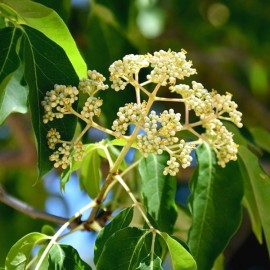 Bee-bee Tree (Tetradium daniellii) Plants