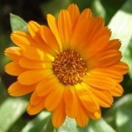 Souci Officinal (Calendula officinalis) Graines