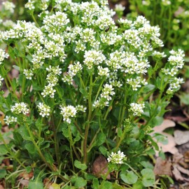 Scurvy-grass (Cochlearia officinalis) Seeds