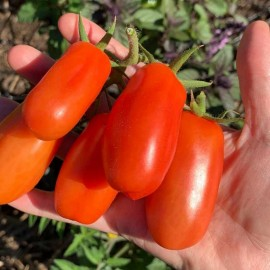 Tomate Rouge 'San Marzano' Graines