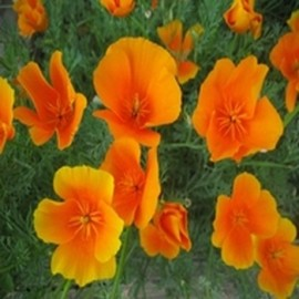 Eschscholzia californica ''Pavot de Californie'' Graines