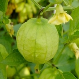 Physalis 'Toma Verde' Graines