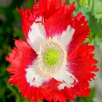 Papaver somniferum 'Danish Flag' Graines