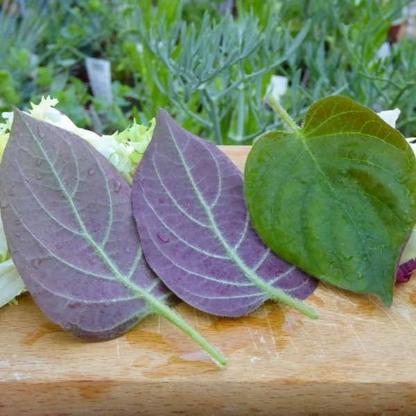 Edible Cheesy plant (Plante Fromage® Alsagarden) Plants